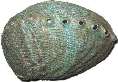 Abalone Muschelschalen poliert
