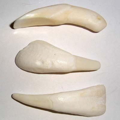 Bison-Schneidezahn