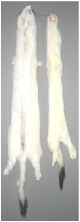 Hermeline, gegerbt 40cm