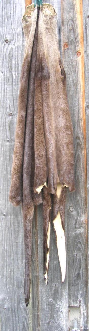 Kanadische Otter, gegerbt. Preis anfragen