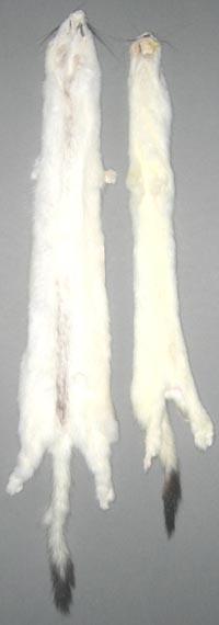 Hermeline, gegerbt